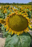 Big yellow sunflowers growing on field with ripe black seeds royalty free stock images