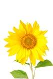 Big yellow sunflowers Stock Images