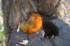 Big yellow tree fungus, close up, autumn stock photos