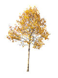 A big yellow tree isolated on white. Background Royalty Free Stock Photography