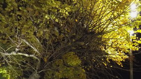 Big Yellow Tree In The Night. This is footage of a big yellow tree in the night. Iluminated by some lights stock video
