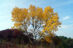 Big yellow tree in sunny day. Autumn landscape - big yellow tree in sunny day Stock Photos