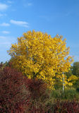 Big yellow tree in sunny day. Autumn landscape - big yellow tree in sunny day Royalty Free Stock Photography