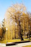 Big yellow willow in the park. Beautiful view of light shining through autumn leaves on willow in city park.Yellow leaves on tree surrounded by benches and paths Stock Images