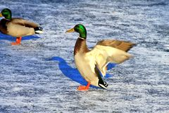 A big yellow young drake with beautiful feathers flapping his wings on the ice of a frozen lake in winter, duck in nature stock image
