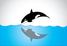 Big young happy free killer whale jumping out of ocean sea surface. A black and white orca killer whale swim and jumping out of sea surface and diving back in Stock Photography