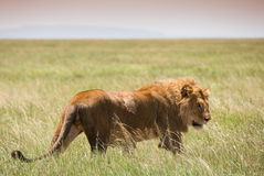 Big young lion on african savannah Royalty Free Stock Photography
