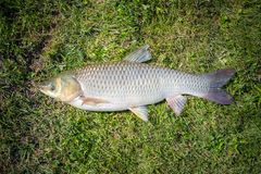 Big ypophthalmichthys fish on green grass background. This type stock image