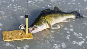 Big zander and tackle for fishing on the ice Royalty Free Stock Photography