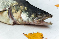 Big zander on white table. Autumn Still Life. cartilaginous fish Stock Photo