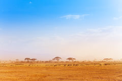 Big zebras herd in the distance of African savanna Stock Image