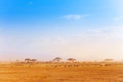 Big zebras herd in the distance of African savanna Stock Image