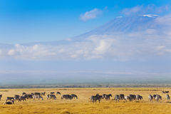 Big zebras herd standing in front of Kilimanjaro Royalty Free Stock Images