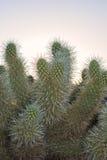 Bigelovii Cylindropuntia Стоковые Фотографии RF