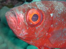 Bigeye 2. This may be a common bigeye (priacanthus hamrur). Taken in the red sea Stock Photography