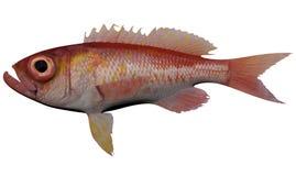 Bigeye Bass. Fish isolated on white backgroundnd stock images