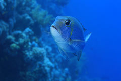 Bigeye emperor Stock Photo
