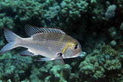 Bigeye emperor (monotaxis grandoculis) Stock Images