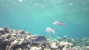 Bigeye emperor Monotaxis grandoculis in coral of Red sea Sudan. Shaab Rumi stock video