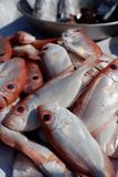 Bigeye fish Royalty Free Stock Images