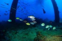 Bigeye fish swim round the legs of an oilrig Stock Photo