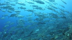 Bigeye Jacks Schooling in Solomon Islands stock video