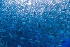Bigeye kingfish Royalty Free Stock Photography