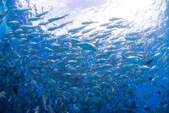 Bigeye kingfish Stock Photo