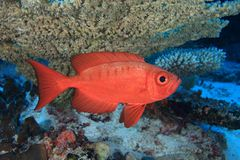 Bigeye perch. In the coral reef Royalty Free Stock Image