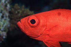 Bigeye perch Stock Photo