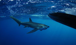 Bigeye Thresher shark swimming. In the Gulfstream in the Atlantic Ocean off of South Florida stock photo