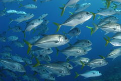 Bigeye Trevallies Royalty Free Stock Image
