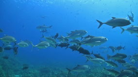 Bigeye Trevallies on a coral reef stock footage