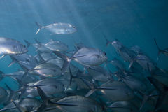 Bigeye Trevallies Royalty Free Stock Photo