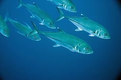 Bigeye trevally Stock Photography