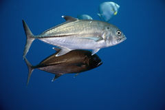 Bigeye Trevally ( Caranx Sexfasciatus) Royalty Free Stock Photos