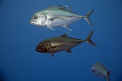 Bigeye Trevally ( Caranx Sexfasciatus) Stock Photos