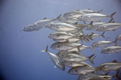 Bigeye trevally (caranx sexfasciatus) Royalty Free Stock Photo