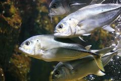 Bigeye trevally Royalty Free Stock Photos