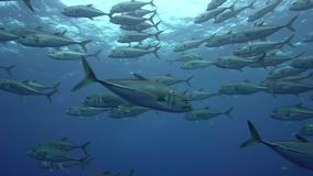 Bigeye trevally Caranx sexfasciatus in El Boiler rock near Sanbenedicto island from Revillagigedo Archipelago stock footage