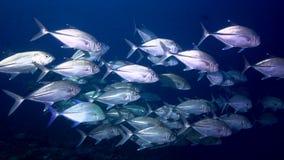 Bigeye trevally Caranx sexfasciatus n coral of Red sea Sudan. Shaab Rumi stock video footage