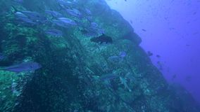 Bigeye trevally Caranx sexfasciatus  near Roca Partida island from Revillagigedo Archipelago. Mexico stock footage