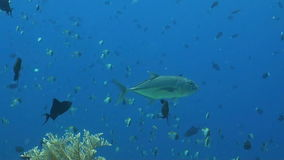 Bigeye Trevally with a cleaner fish stock video footage