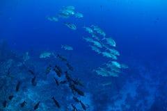 Bigeye trevally fish Stock Photos
