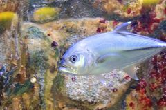 Bigeye trevally Royalty Free Stock Images
