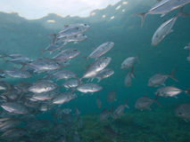 Bigeye trevally iRaja Ampat, Wonderful Indonesia Stock Images
