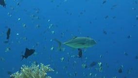 Bigeye Trevally med en mer ren fisk lager videofilmer
