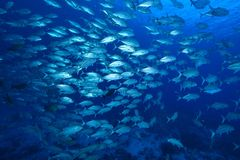 Bigeye trevally Stock Images
