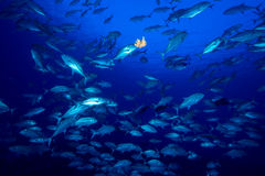 Bigeye trevally Stock Photo