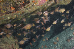 Bigeyes in crevice. A school of New Zealand bigeye Pempheris adspersa in a crevice in Goat Island marine reserve near Leigh Royalty Free Stock Image